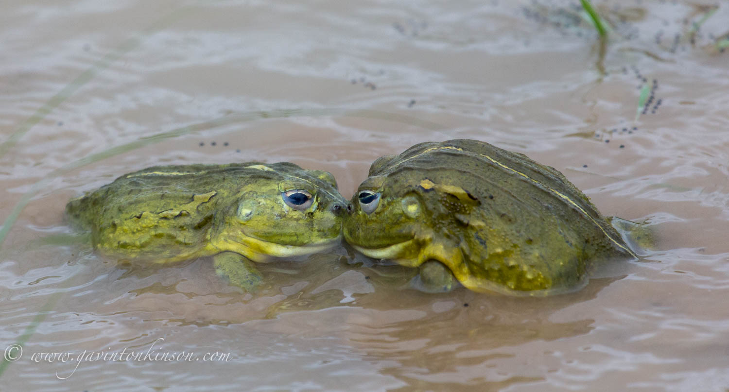 bullfrogs mating 4