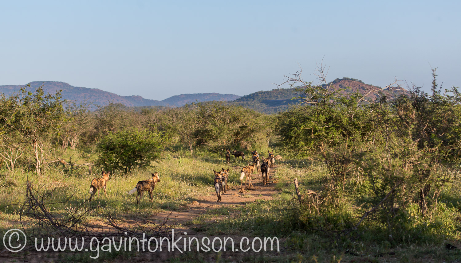 wild dogs on matswani 1