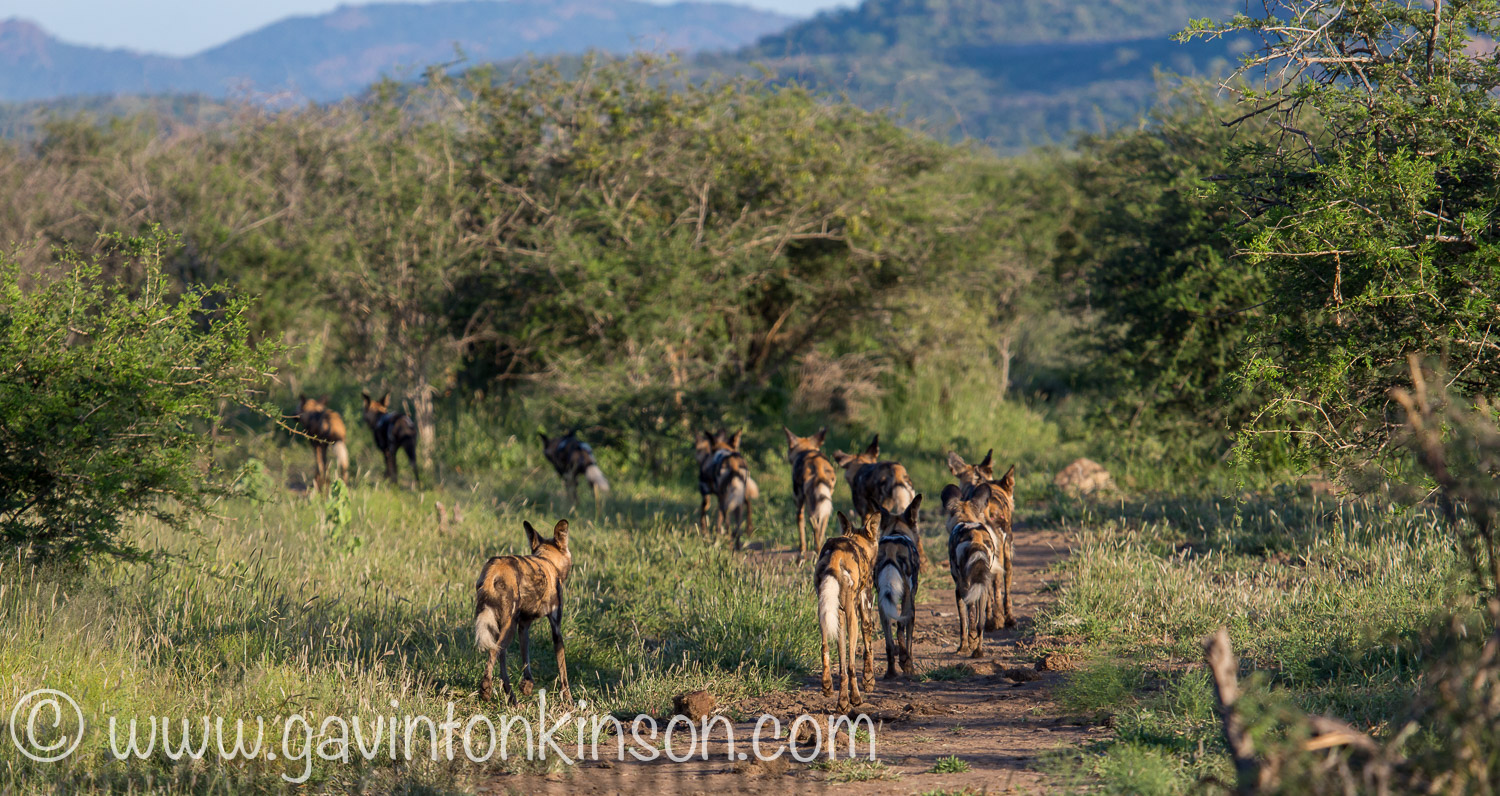 wild dogs on matswani 2