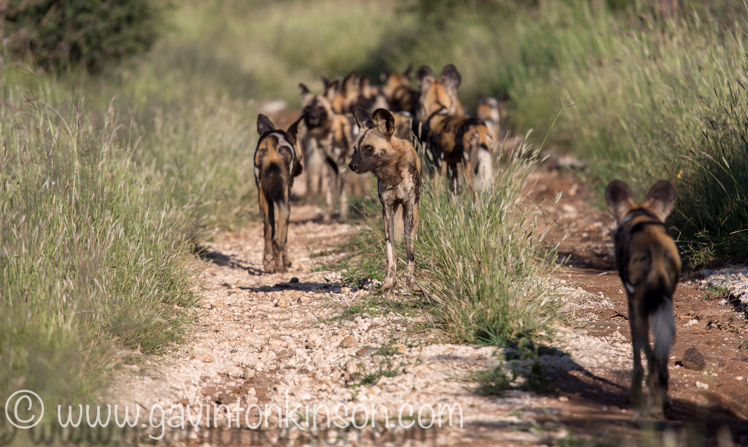 wild dogs on matswani 3