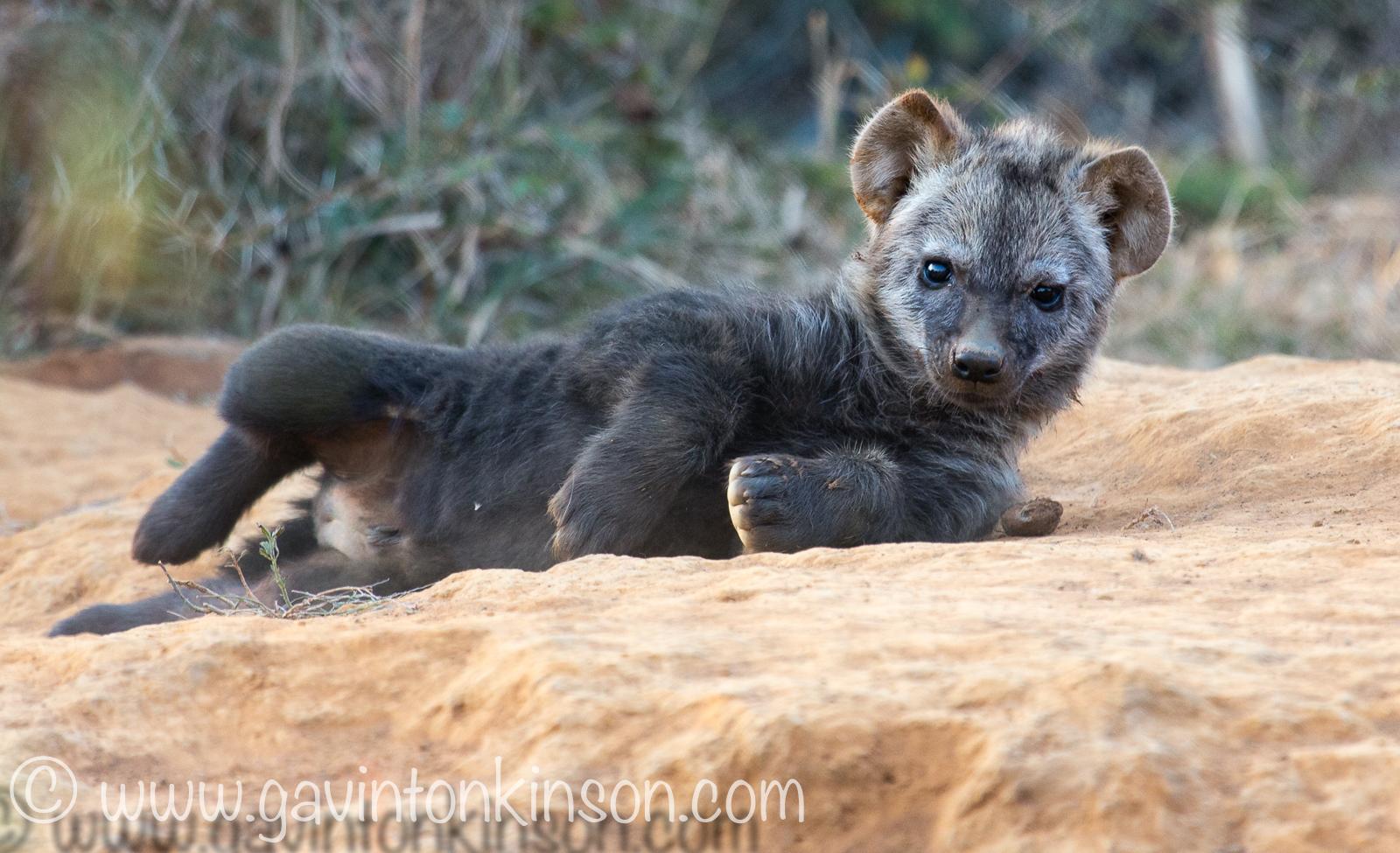 Hyenas at den 4