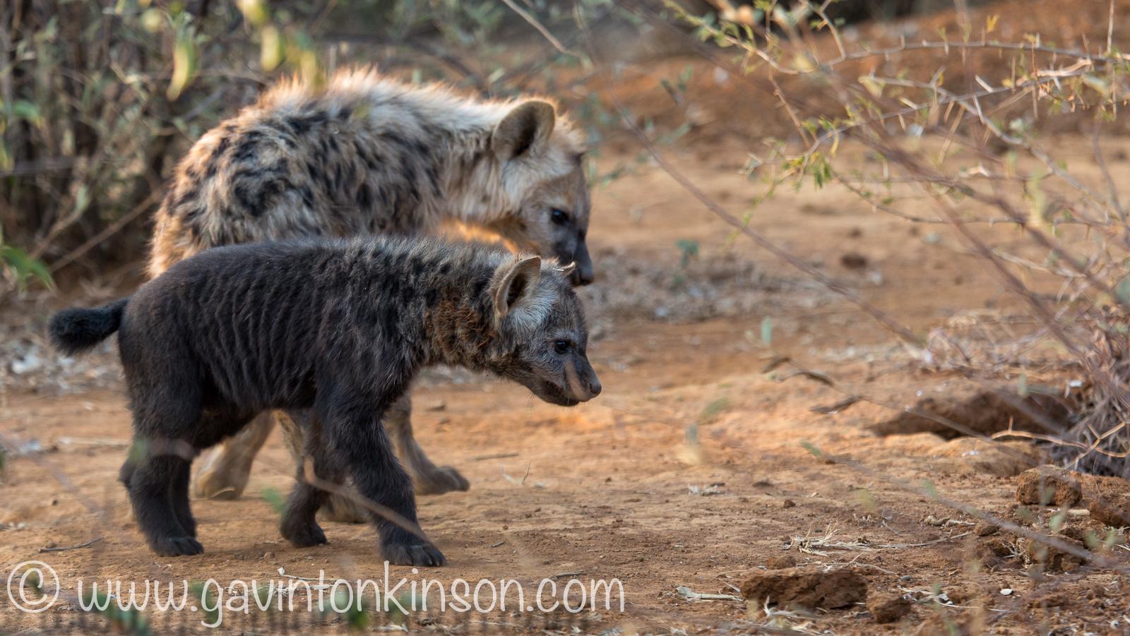 Hyenas at den 5