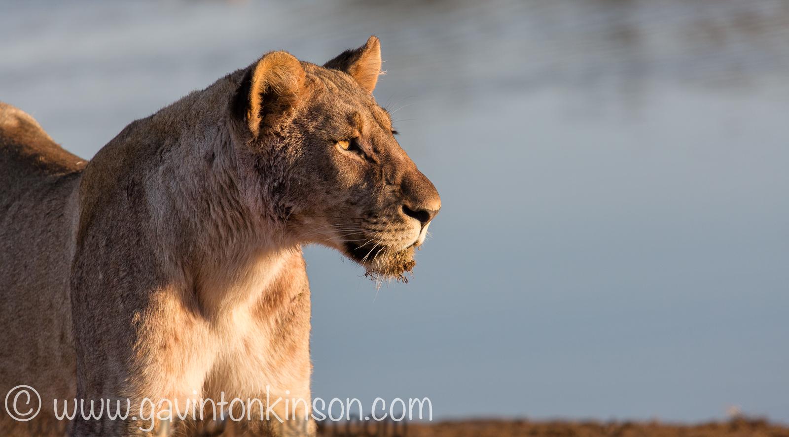 Lioness stare_