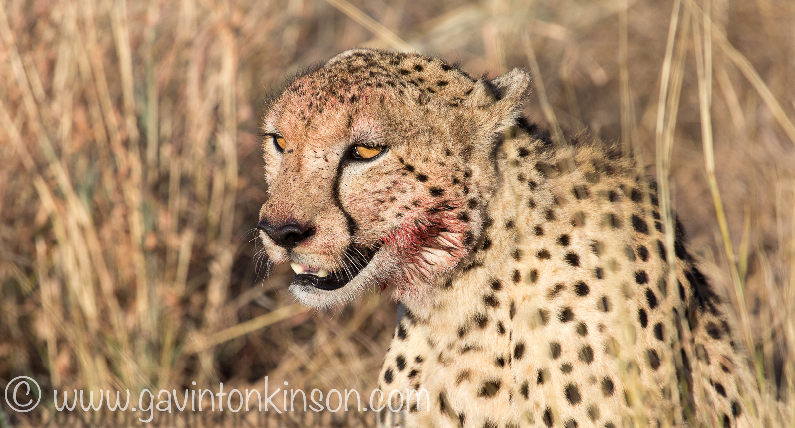 cheetahs eat zebra on nilotica 2