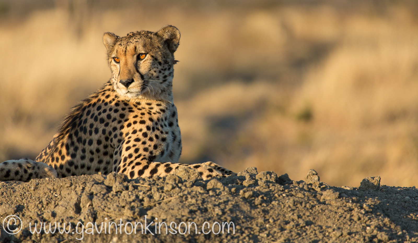 sunset cheetahs 1