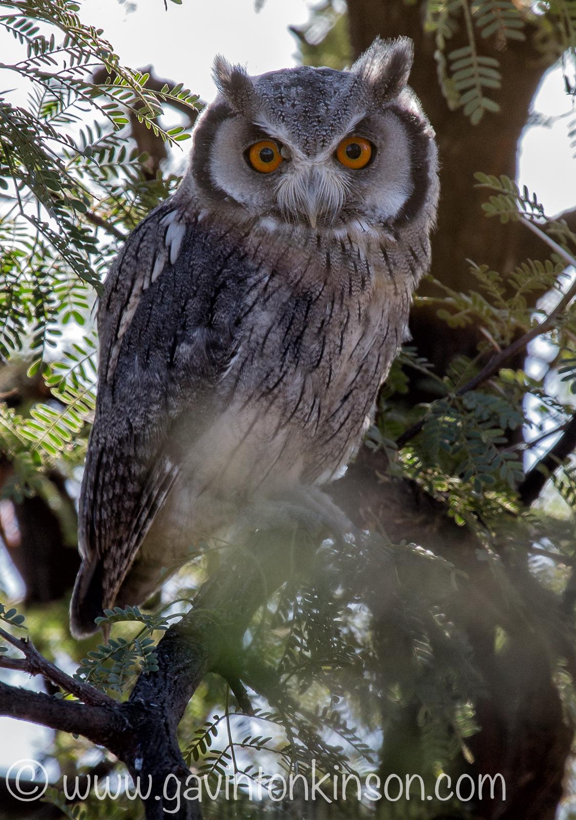 white faced owl 1