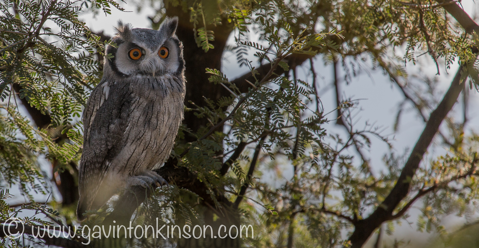 white faced owl 2