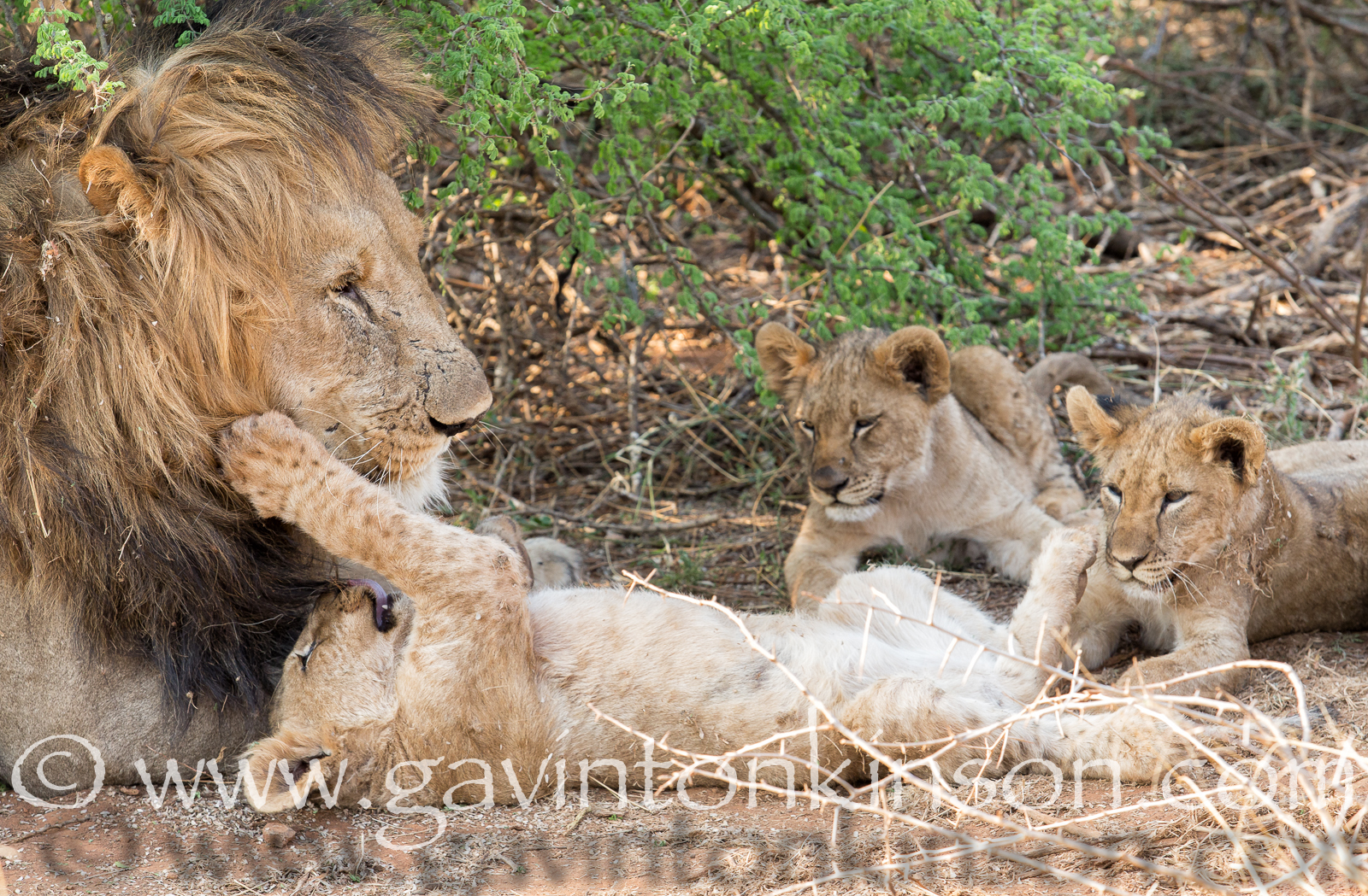 Bafefo and cubs 5