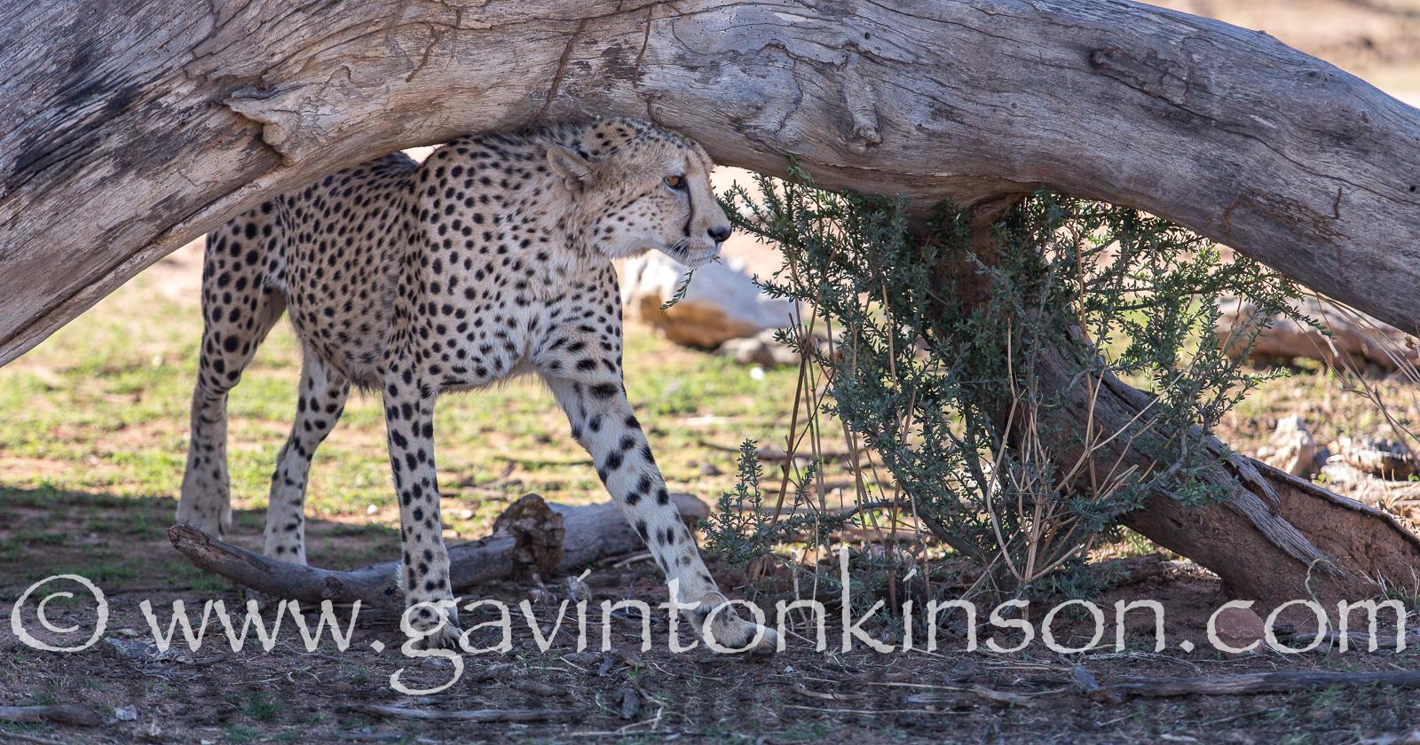 Scenting cheetah 2