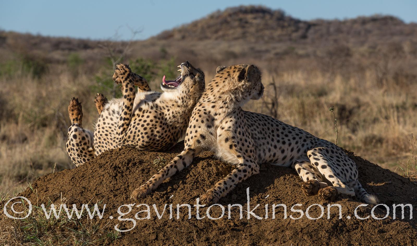 Termite cheetahs 2