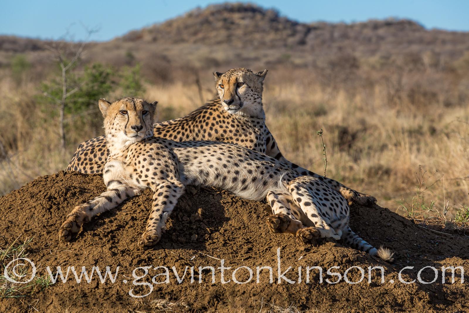 Termite cheetahs 3
