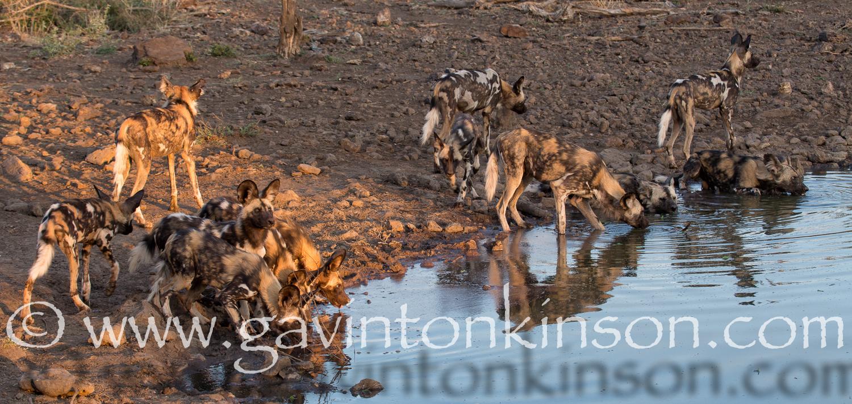 Wild dogs at inkwe pan 4