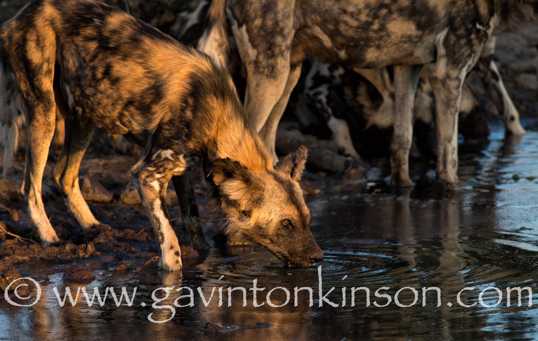 Wild dogs at inkwe pan 5