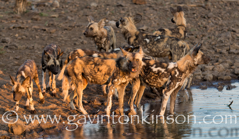 Wild dogs at inkwe pan 6
