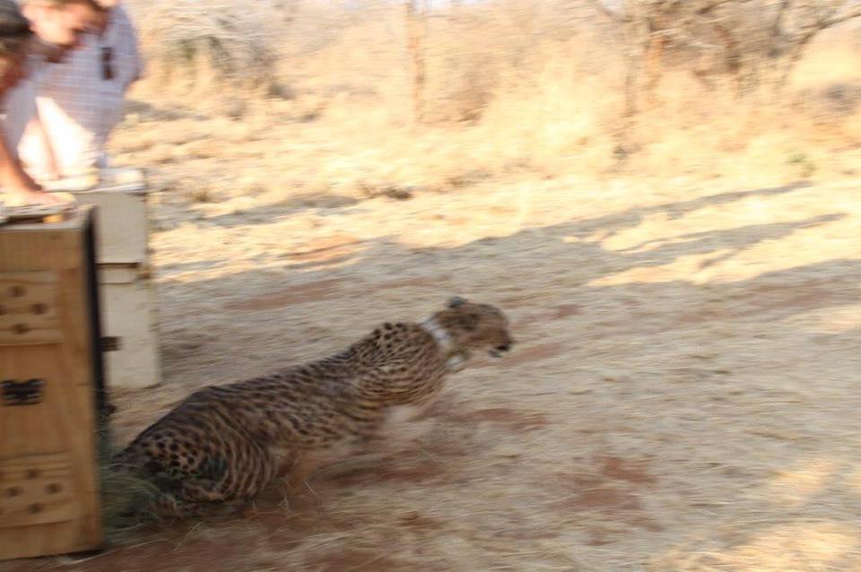 cheetah release 1