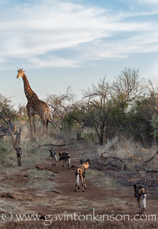 dogs and giraffe 1