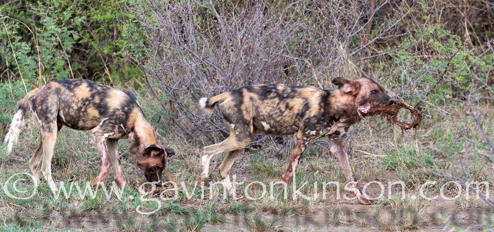 dogs finish impala 1