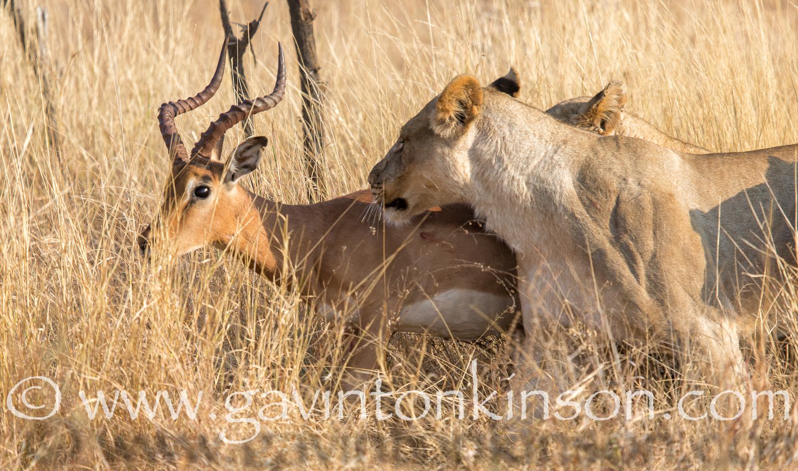 mica pride kill impala 3