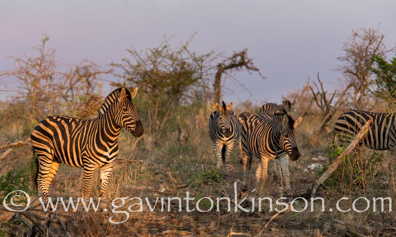 zebra at inkwe pan 1