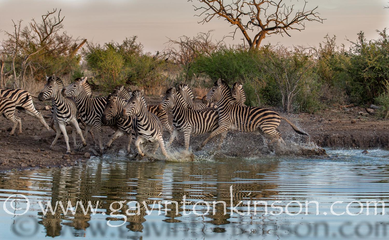 zebra at inkwe pan 4