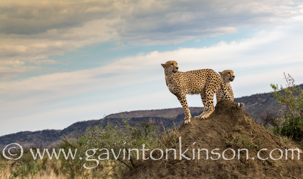 Phinda cheetah on termite mound 1