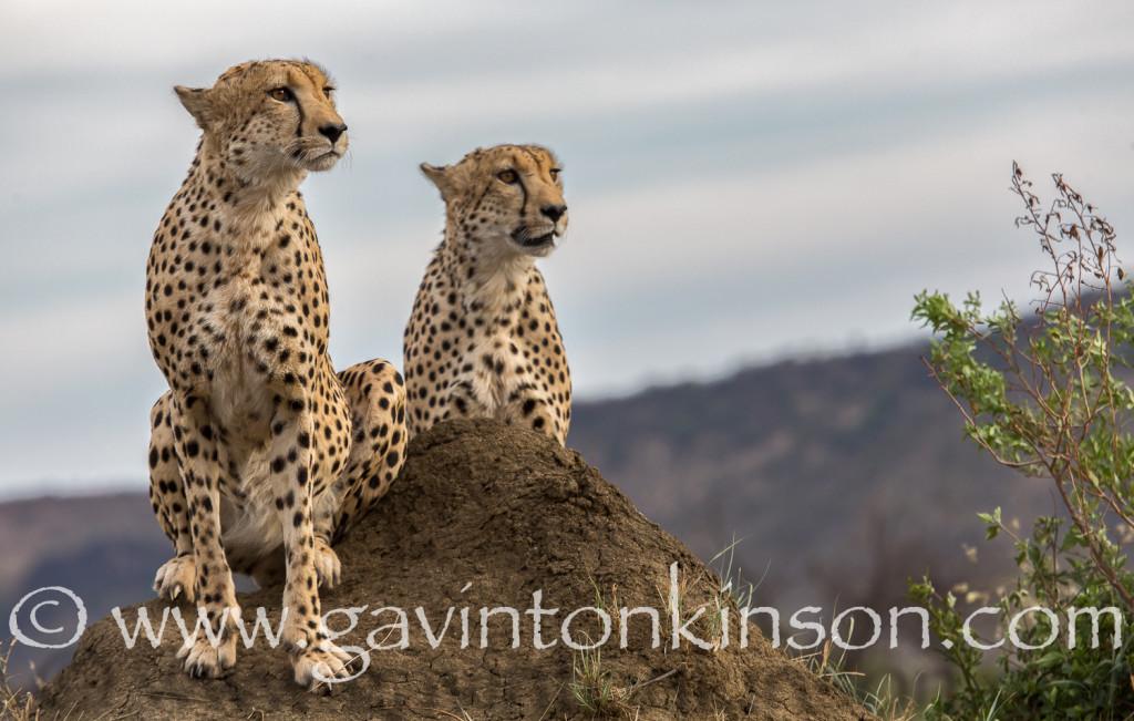 Phinda cheetah on termite mound 2
