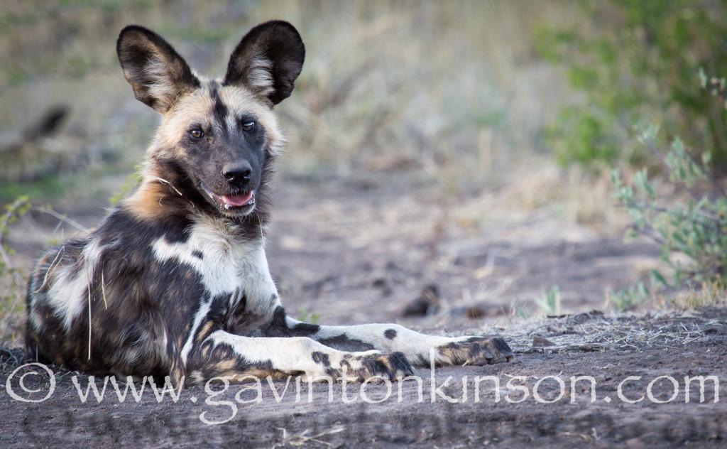 Wild Dog puppy smiling 1